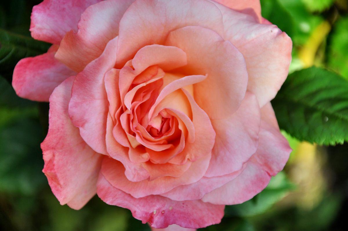 'Life is a Rose' von Artejo