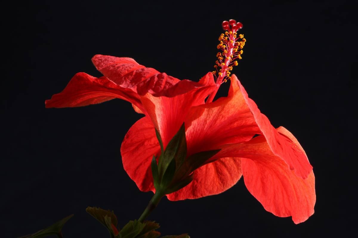 'Hibiskusblüte' von  FotoArt