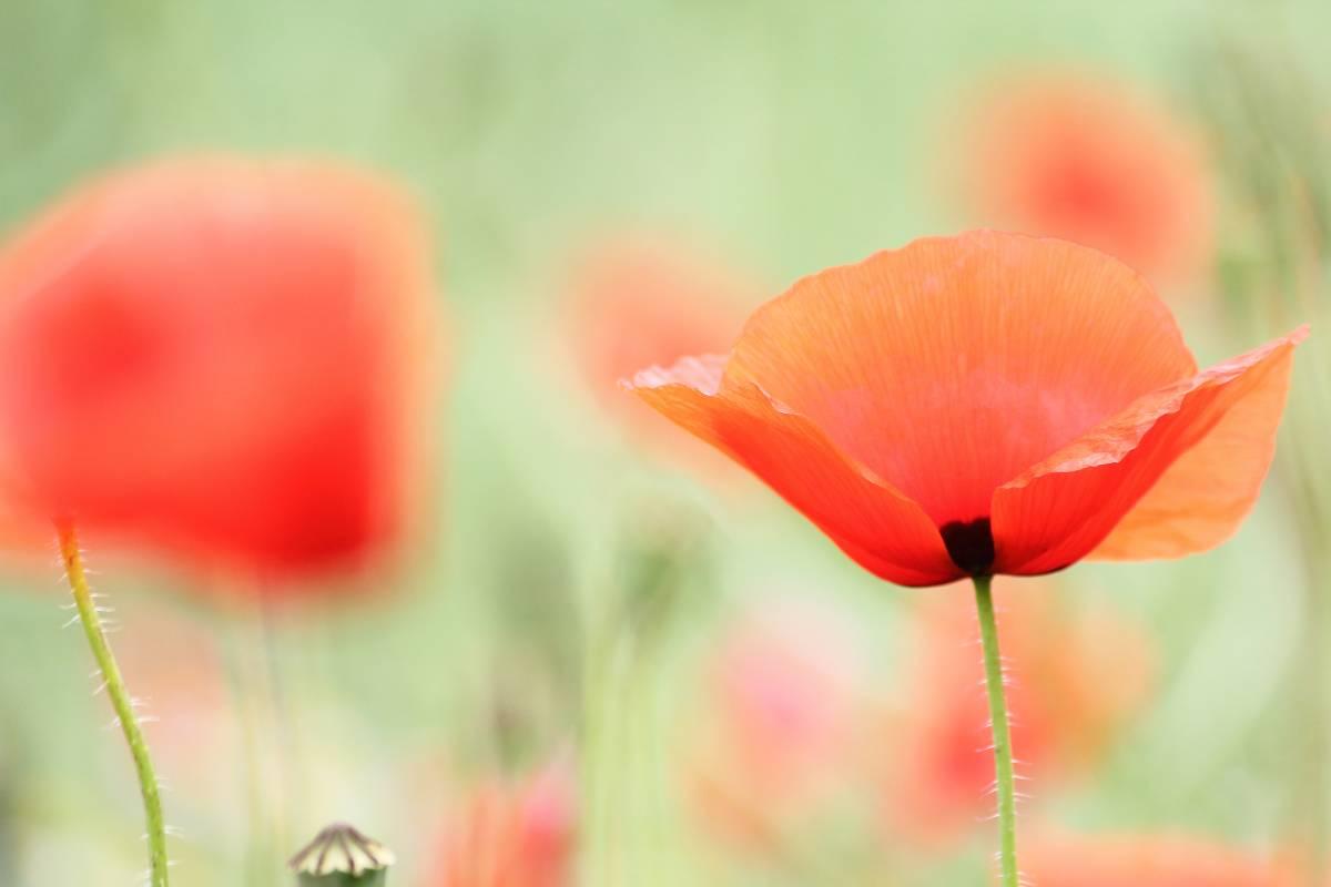 'Mohnblüte' von  FotoArt