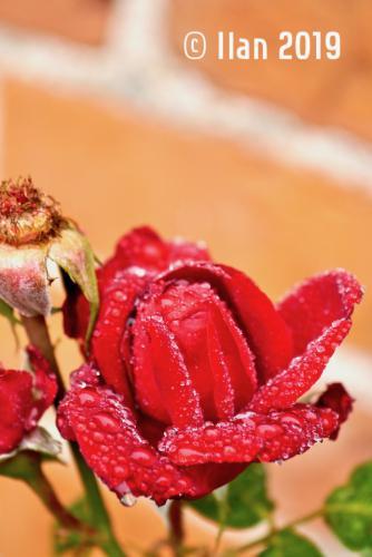 'Blüte 4' von Ilan
