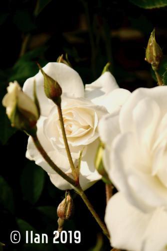 'Blüte 5' von  Ilan