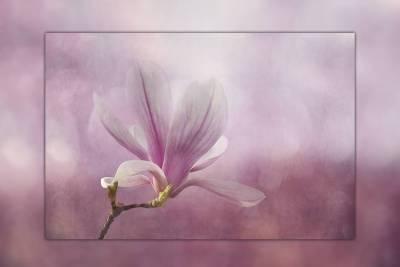 Ein Hauch Frühling - Magnolienblüte