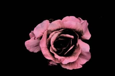 Rose in Black